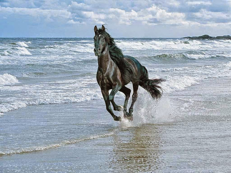 Friesian Horses Wallpapers Running in Water Friesian Horse hd Wallpaper Free Download Horse New Images Jpg