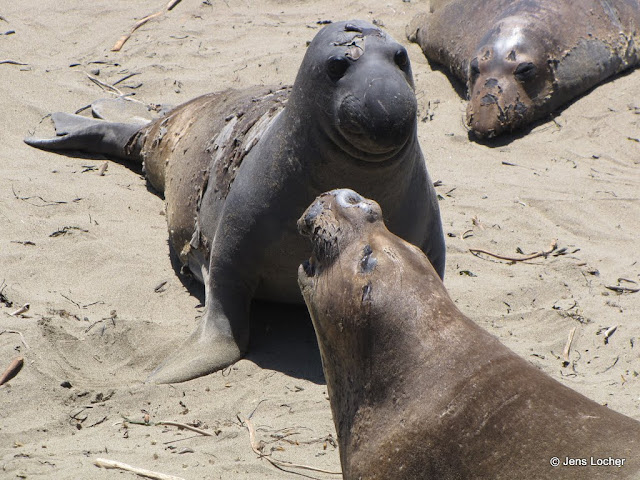 2010 - SX10_0035_Elephant_Seals.JPG