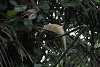 Anteater in Reserve Zone (Manu National Park, Peru)