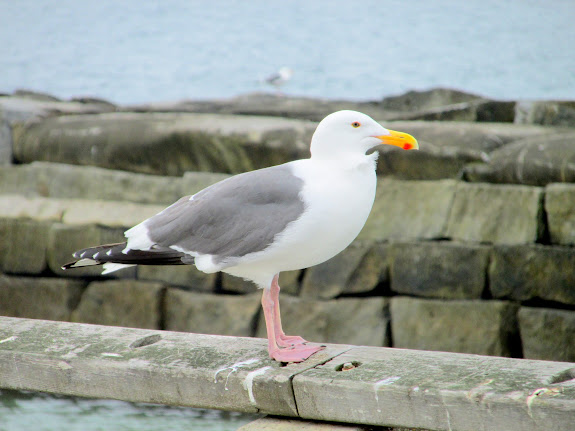 California gull, the official bird of the state of Utah