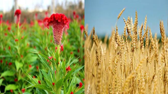 Lúa mì và hoa mồng gà