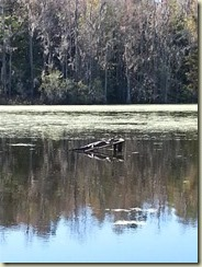 20151030_ Tram ride gator (Small)