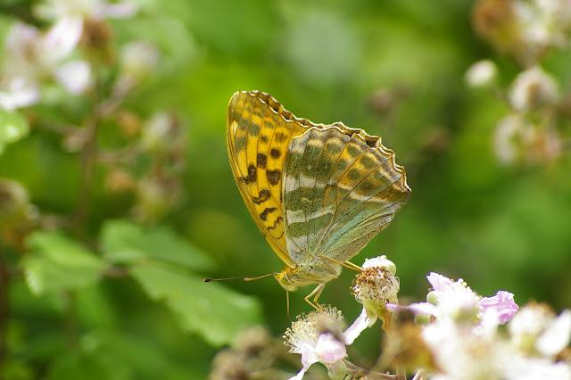 Argynnis paphia LINNAEUS, 1758. Chevigny au Nord de Semur-en-Auxois. 19 juillet 2008. Photo : J.-M. Gayman