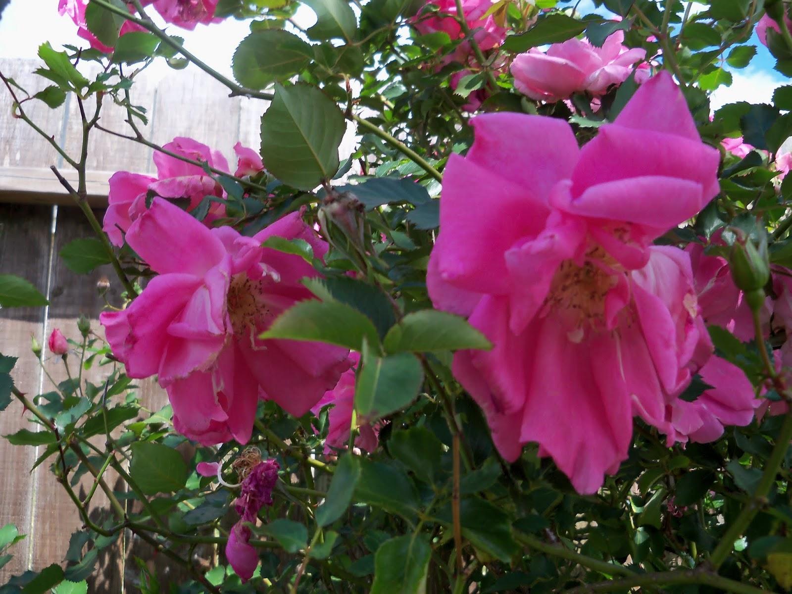 Gardening 2013 - 115_5693.JPG