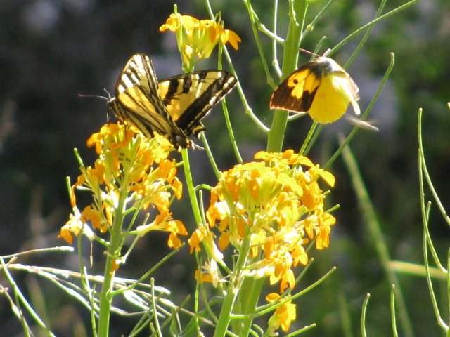 two different butterflies on a puff of yellow