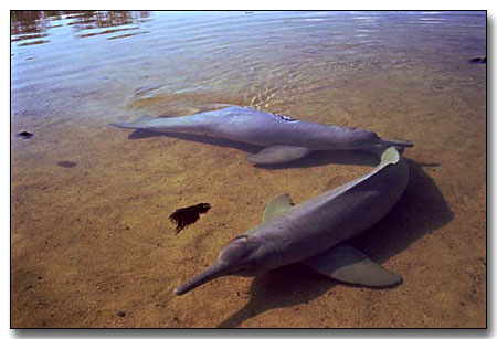 River dolphin for Freshwater dolphin fish