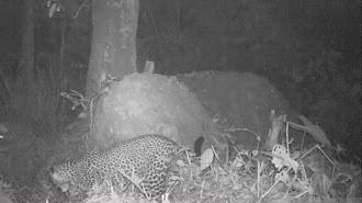 Macan Tutul yang Terekam Kamera di Gunung Sanggabuana Karawang Berjenis Kelamin Betina