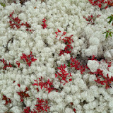 Coral Lichen (white), Blueberry (red) and Labrador Tea (green) - typical ground-cover in many areas