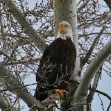 North Anerican Bald Eagle. ©Jon Erdmann