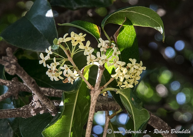 5_Osmanthus-fragrans_Mandello_006