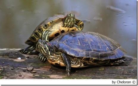 l 39 alimentazione delle tartarughe acquatiche animali