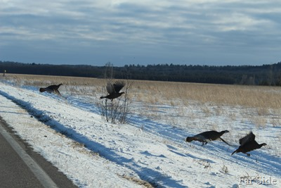 Turkeys Feb 16