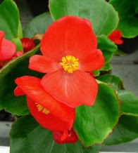 Begonia stale kwitnąca kwiat Begonia semperflorens red flower