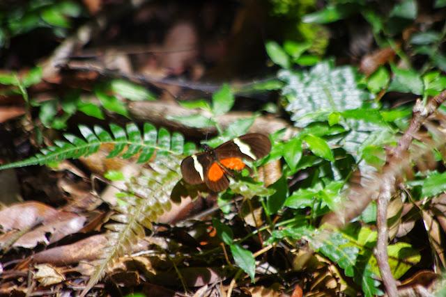 Heliconius clysonymus montanus Salvin, 1871. Mount Totumas, 1900 m (Chiriquí, Panamá), 25 octobre 2014. Photo : J.-M. Gayman