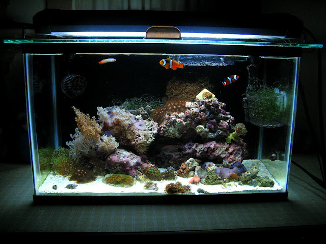 Tharsis 39 10 gallon soft coral tank members aquariums for Saltwater fish for 10 gallon tank