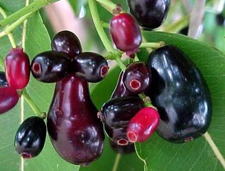 gambar foto buah jamblang