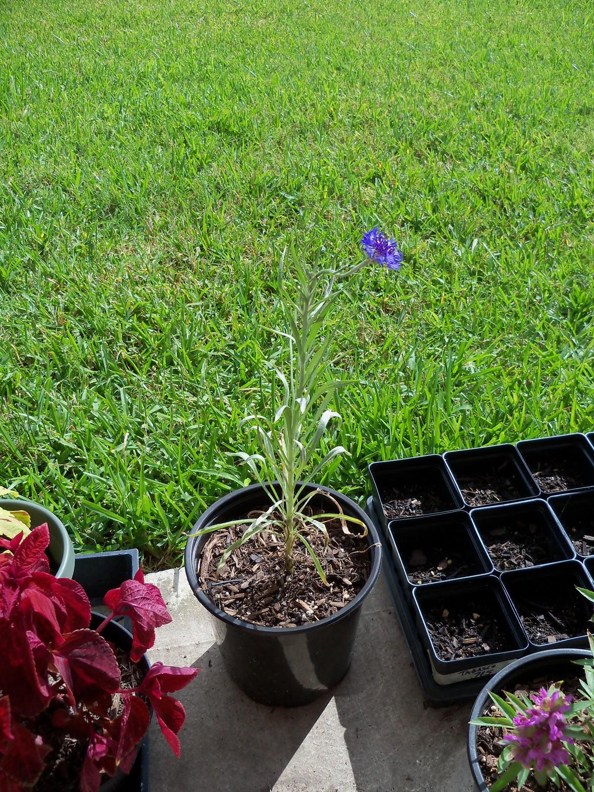 Gardening 2010, Part Three - 101_4978.JPG
