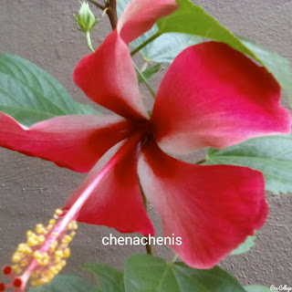 Bunga Raya Bunga Kebangsaan