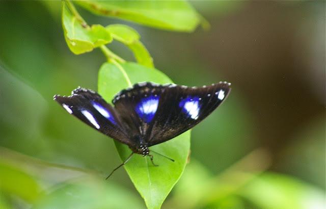 Hypolimnas bolina bolina LINNAEUS, 1758. Pulau Mantanani, 29 juillet 2011. Photo : J.-M. Gayman
