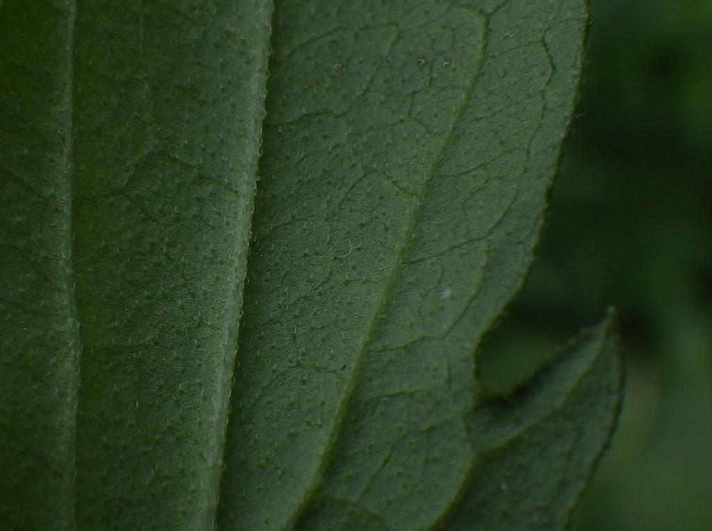 葉裏の様子1