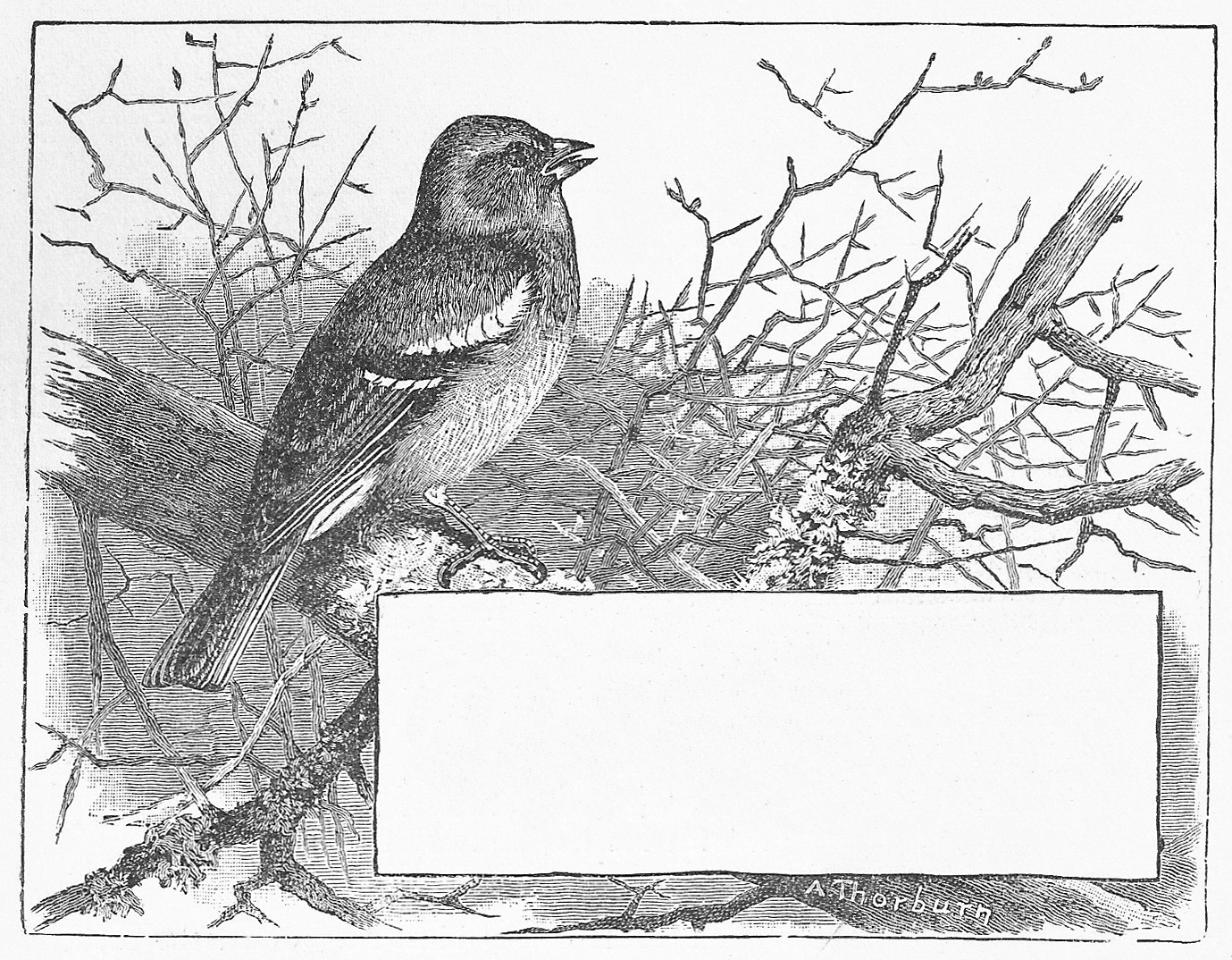 Free vintage clip art bird of the month march chaffinch