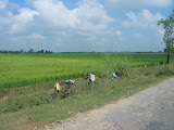 Fields of  wheat, Amarpurkashi
