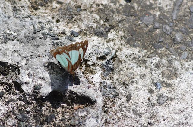 Pyrrhogyra otolais nasica Staudinger, 1886. Quebrada Chirajara, 1050 m (Cundinamarca, Colombie), 10 novembre 2015. Photo : J.-M. Gayman