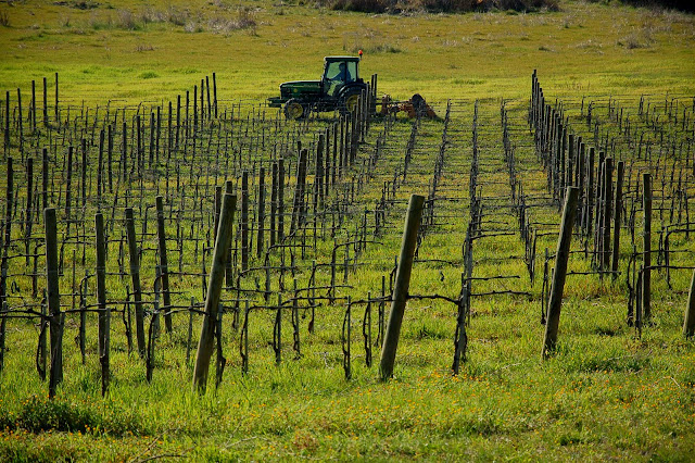 Freshly pruned Brunello vineyard in March