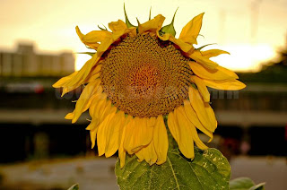 Наран цэцэг /Photography by Ганзаак/