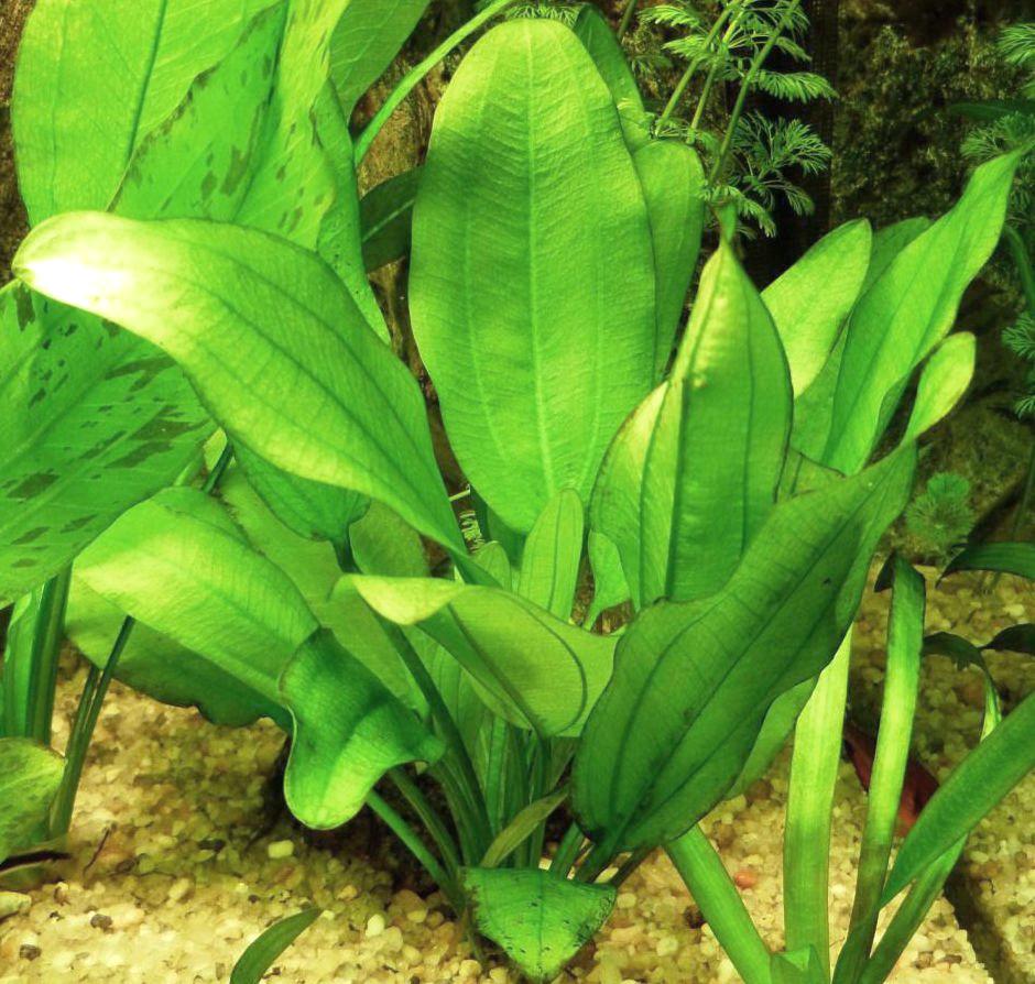 Эхинодорус сердцелистный (Echinodorus cordifolius)
