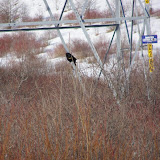 Red-winged Blackbird in March