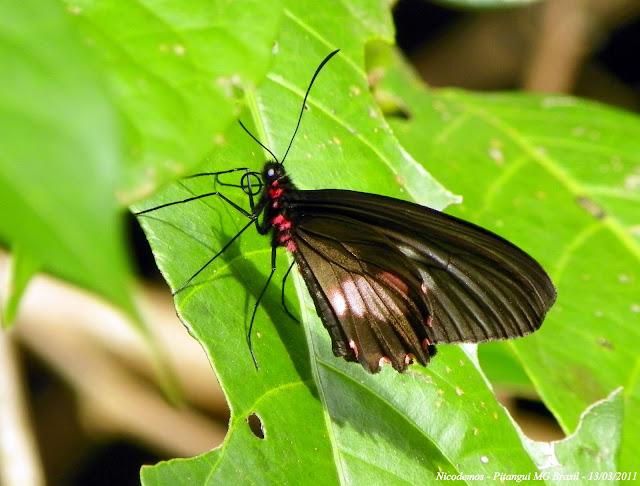 Parides neophilus eurybates (GRAY [1853]). Pitangui (MG, Brésil), 13 mars 2011. Photo : Nicodemos Rosa