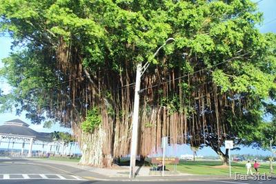 Banyan Tree in Hilo