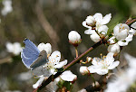 Skovblåfugl, han.2.jpg