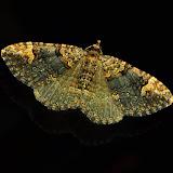 Geometridae : Larentiinae : Xanthorhoini : probablement Visiana brujata GUÉNÉE, 1857. Umina Beach (New South Wales, Australie), 25 avril 2011. Photo : Barbara Kedzierski