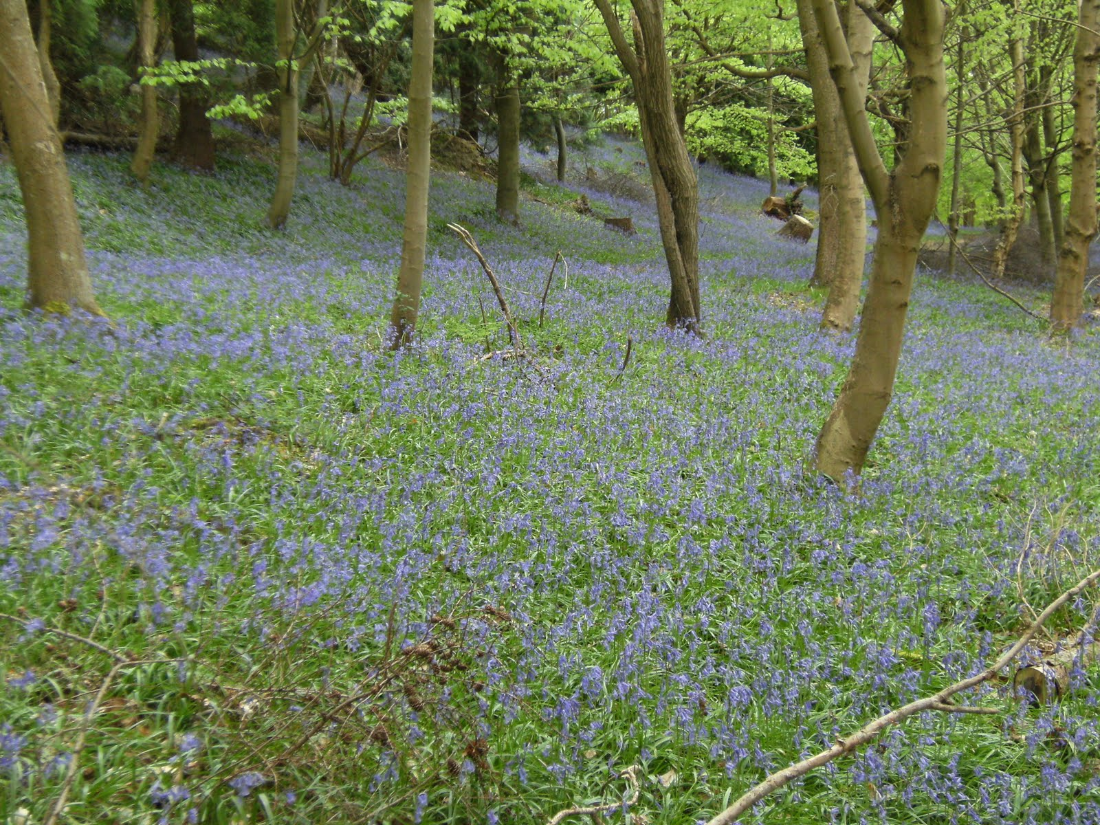 1005050007 Bluebells in Birchcope Shaw