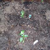 Gardening 2011 - 100_6724.JPG
