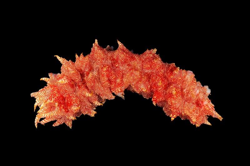 Thelenota rubralineata, Papua New Guinea