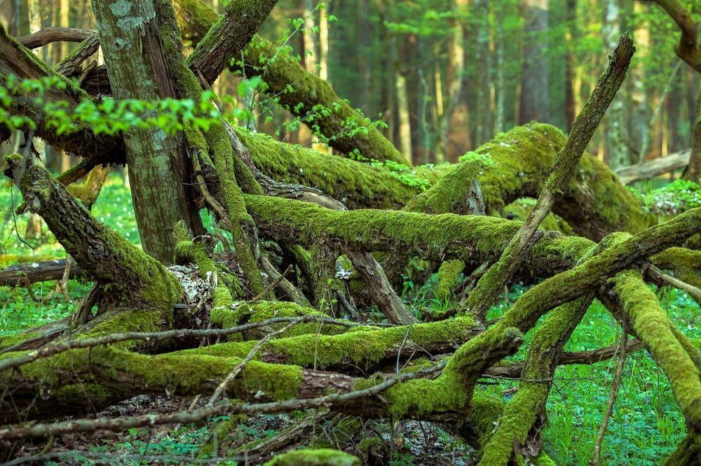Bialowieza: Europe's Last Primeval Forest