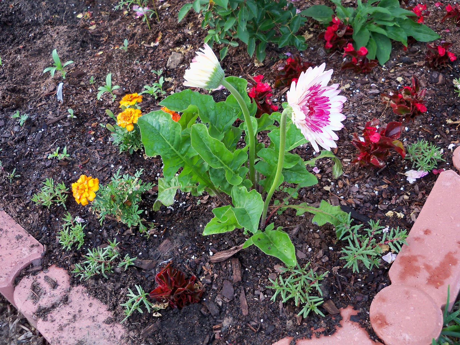 Gardening 2010 - 101_1026.JPG