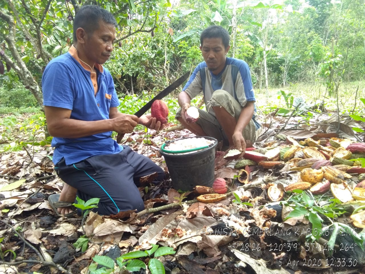 Di Tengah Covid 19, P4S Insan Cemerlang Binaan BBPP Batangkaluku Panen Kakao