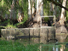 Large male problem crocodile in trap at Carmor Plains. Look at the habitat behind where this old croc has been living, not human friendly!