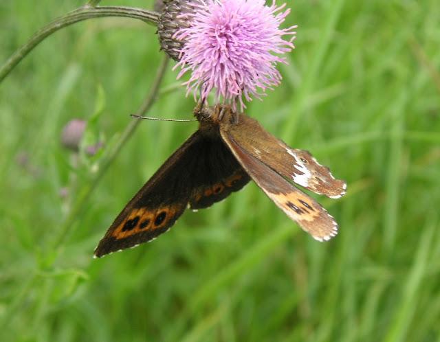 Erebia ligea LINNAEUS, 1758, mâle. 10 km au nord de Krasnorechenskij près de Dal'negorsk, 25 juillet 2010. Photo : J. Michel