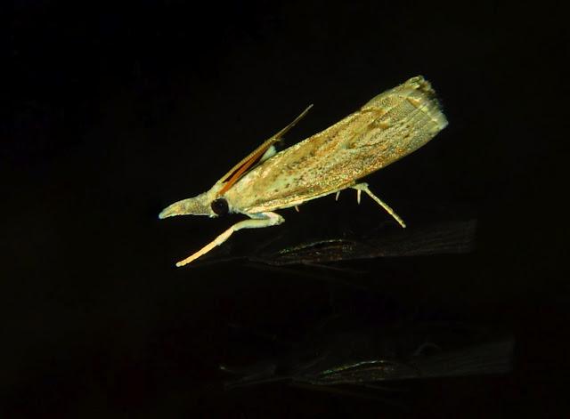 Crambidae : Crambinae : Culladia cuneiferellus WALKER, 1863. Umina Beach (NSW, Australie), 5 avril 2011. Photo : Barbara Kedzierski