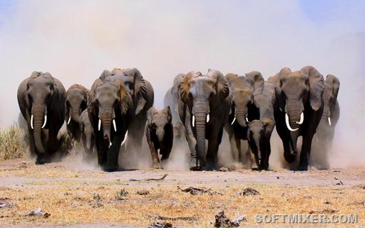 stado-slonov