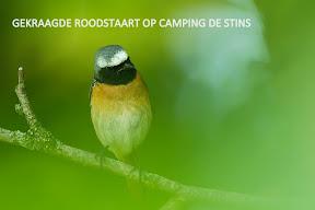 Gekraagde Roodstaart op de camping (1).jpg