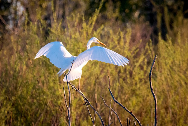 Great Egret IMG_1682