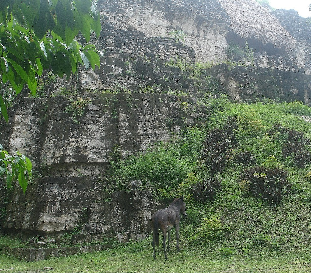 A lone wild mule grazes at the foot of a temple.