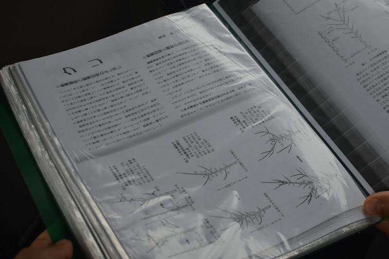栗の教科書に書いてある樹形と全く異なる四万十の栗。
