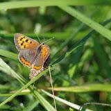 Lycaena phlaeas (Linnaeus, 1761), mâle. Les Hautes-Lisières (Rouvres, 28), 9 septembre 2015. Photo : J.-M. Gayman